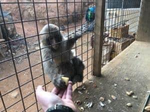 Feeding the Japanese Snow Monkey